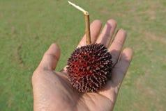 Tropikalna owoc pulasan, Nephelium mutabile Blume od rodzinnego Sapindaceae Obraz Royalty Free