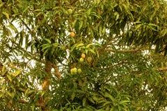 Tropikalna owoc w karaibskim fotografia royalty free