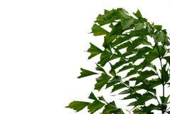Tropikalna palma opuszcza z gałąź na białym odosobnionym tle dla zielonego ulistnienia tła obrazy royalty free