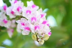 Tropikalna piękna orchidea Fotografia Royalty Free