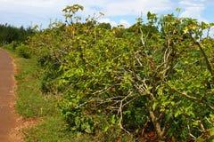 Jatropha Curcas plantacja Fotografia Stock