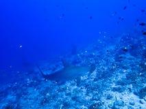 Tropikalna rafa z Hammerhead ryba i rekinami Fotografia Royalty Free