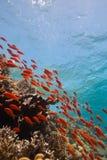 tropikalna rafowa scena Fotografia Stock