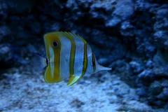 Tropikalna ryba Obraz Stock