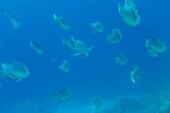 Tropikalna ryba Zdjęcie Stock