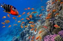 Tropikalna ryba i ciężcy korale Obrazy Stock