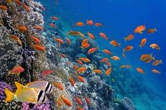 Tropikalna ryba i ciężcy korale Obrazy Royalty Free