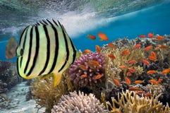 Tropikalna ryba i ciężcy korale Obraz Stock