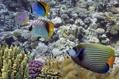 Tropikalna ryba na rafie koralowa Obraz Royalty Free