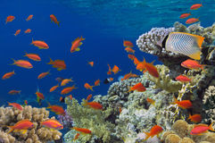 Tropikalna ryba na rafie koralowa Obrazy Royalty Free