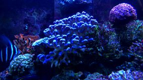 Tropikalna ryba przy wody morskiej akwarium zdjęcie wideo
