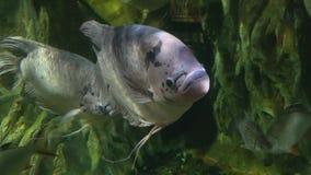 Tropikalna ryba w akwarium w górę Chiang Mai, Tajlandia zdjęcie wideo