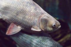 Tropikalna ryba z koralami i algi w błękitne wody Piękny bac zdjęcia stock