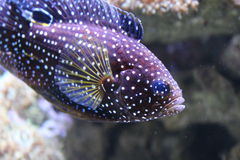 Tropikalna ryba z kropkami Obrazy Stock