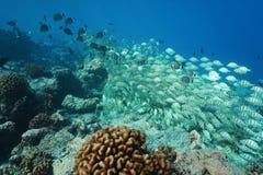 Tropikalna szkoła ryba na rafowym Pacyficznym oceanie Obraz Royalty Free
