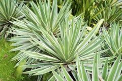 Tropikalne agaw rośliny Fotografia Royalty Free