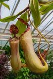 Tropikalne carnivore rośliny fotografia royalty free