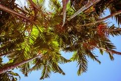 tropikalne dłonie Fotografia Stock
