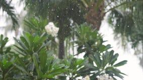 Tropikalne deszcz krople spada na drzewko palmowe liściach w wyspy Koh Samui zielonym drzewie frangipani i swobodny ruch zdjęcie wideo