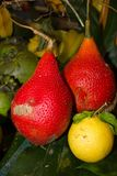 Tropikalne owoc w ogródzie w Południowym Floryda fotografia royalty free