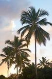 Tropikalne palmy przy zmierzchem na St Tomasowskiej wyspie, Dziewicze wyspy, usa Fotografia Stock