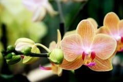 Tropikalne pomarańczowe orchidee Obrazy Stock