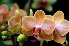 Tropikalne pomarańczowe orchidee Obraz Stock