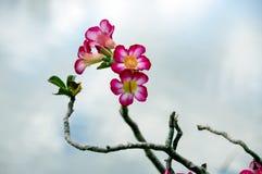 Tropikalne pustynne róże obrazy stock