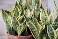 Tropikalne rośliny w ceramicznym garnku - świekry ` s jęzor Zdjęcia Royalty Free