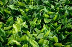 Tropikalne rośliny wodne Zdjęcie Royalty Free