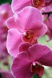 Tropikalne różowe orchidee Obrazy Royalty Free
