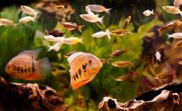 tropikalne ryby Obrazy Stock