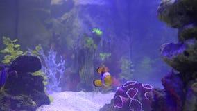 tropikalne ryby błazenkiem zbiory