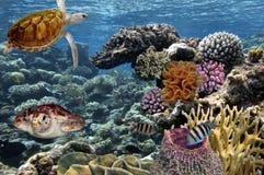 tropikalne ryby gili Indonesia wyspy lombok meno blisko dennego żółwia underwater światu morza czerwonego Zdjęcie Stock
