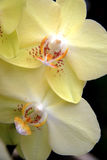 Tropikalne żółte orchidee Fotografia Stock