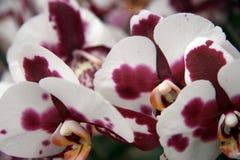 Tropikalne żyłkowane orchidee Zdjęcia Stock