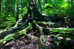 Tropikalnego lasu deszczowego drzewo Zdjęcie Stock