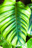Tropikalnego lasu deszczowego liść obraz stock