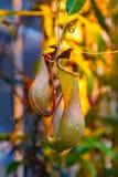 Tropikalnego miotacza rośliny lub małpie filiżanki Fotografia Stock