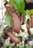 Tropikalnego miotacza rośliny, małpie filiżanki Zdjęcie Stock
