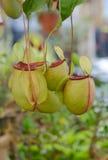 Tropikalnego miotacza rośliny, małpie filiżanki Fotografia Royalty Free