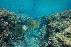 Tropikalnego rybiego Aluterus scriptus nagryzmolony filefish Obraz Stock