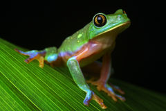 Tropikalnego tropikalny las deszczowy drzewna żaba Agalychnis Zdjęcie Stock