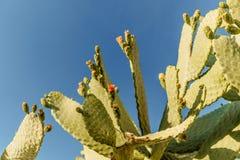 Tropikalnego zielonego okwitnięcia kaktusowa roślina, Kłującej bonkrety kaktusa zakończenie up, królików ucho kaktus Microdasys l obrazy royalty free