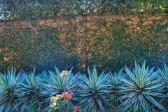 Tropikalnej rośliny agawa Ściana opleciona z bluszczem Zdjęcia Royalty Free