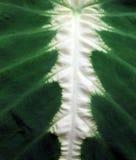 Tropikalnej rośliny liścia abstrakt Zdjęcia Stock