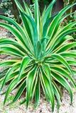 Tropikalnej rośliny agawa Obrazy Royalty Free
