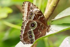 Tropikalnej sowy Caligo motyli karmienie i odpoczywać na kwiatach i Zdjęcie Royalty Free