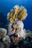 Tropikalni denni korale Fotografia Royalty Free