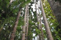 Tropikalni drzewa Zdjęcia Royalty Free